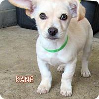 Adopt A Pet :: Kane (Puppy) - Lindsay, CA
