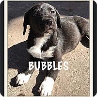Adopt A Pet :: Bubbles - Tempe, AZ