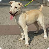 Adopt A Pet :: Lola*Indian Pariah Dog* - Monroe, NJ