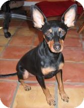 Miniature Pinscher/Manchester Terrier Mix Dog for adoption in Phoenix, Arizona - Radar