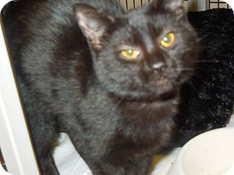 Domestic Shorthair Cat for adoption in Medina, Ohio - Ms. Drysdale