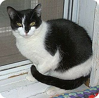 Domestic Shorthair Cat for adoption in Huntington, New York - Dominica