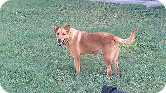 Labrador Retriever/Shepherd (Unknown Type) Mix Dog for adoption in Eddy, Texas - Rascal