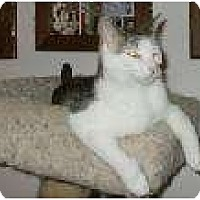 Domestic Shorthair Cat for adoption in Henderson, Kentucky - Daisey
