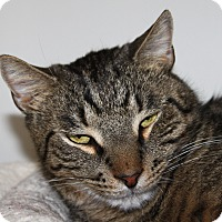 Adopt A Pet :: Boots - North Branford, CT