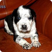 Adopt A Pet :: Hoss - Austin, TX