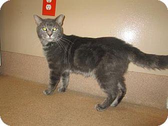 Domestic Shorthair Cat for adoption in Cumming, Georgia - Dante