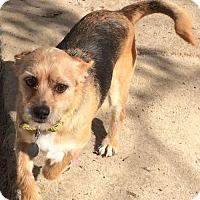 Adopt A Pet :: Stitch B - McKinney, TX