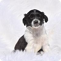 Adopt A Pet :: Olita - Groton, MA