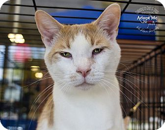 Domestic Shorthair Cat for adoption in Mooresville, North Carolina - A..  Oskar