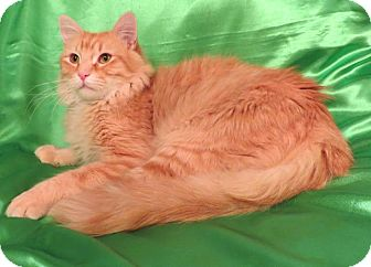 Domestic Longhair Cat for adoption in St. Louis, Missouri - Kat