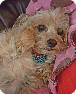 Yorkie, Yorkshire Terrier Dog for adoption in Colorado Springs, Colorado - Velcro