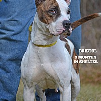 Boxer/Pointer Mix Dog for adoption in Washington, Georgia - Bristol