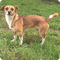 Fox Terrier (Smooth) Mix Dog for adoption in Palm Harbor, Florida - Hope