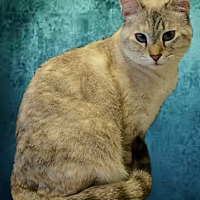 Siamese Cat for adoption in Tucson, Arizona - Kyipo