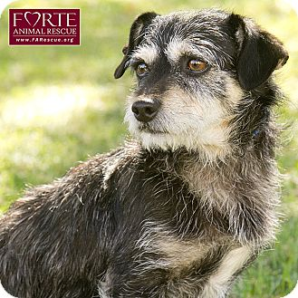 Terrier (Unknown Type, Small) Mix Dog for adoption in Marina del Rey, California - Norman