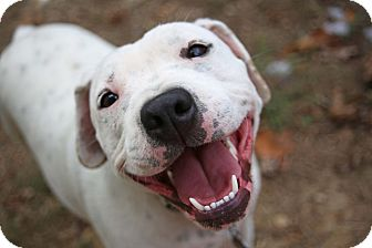 American Pit Bull Terrier/Pointer Mix Dog for adoption in Plainfield, Connecticut - Terrific Tee Tee!