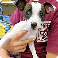 Chihuahua/Terrier (Unknown Type, Small) Mix Puppy for adoption in Studio City, California - Jill