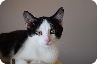 Domestic Shorthair Kitten for adoption in Wichita, Kansas - Nicco