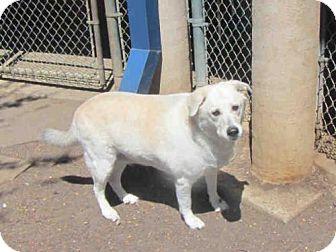 Labrador Retriever/Siberian Husky Mix Dog for adoption in Plano, Texas - GRACE