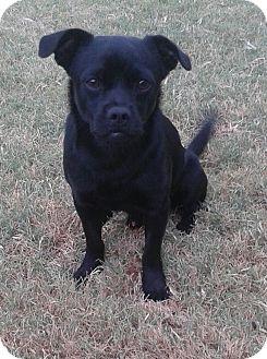 Pug Mix Dog for adoption in Manhattan, Kansas - Luke
