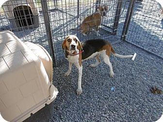 Foxhound Mix Dog for adoption in Barco, North Carolina - Foxy