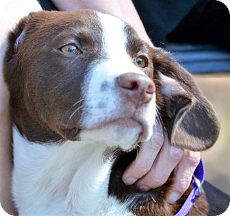 Labrador Retriever/Spaniel (Unknown Type) Mix Puppy for adoption in Brattleboro, Vermont - Hank ~ ADOPTED!
