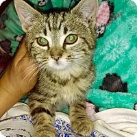Adopt A Pet :: Angelica - Brooklyn, NY