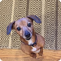 Adopt A Pet :: Maple - Alpharetta, GA