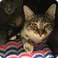 Adopt A Pet :: Bomham - Westminster, CA