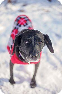 Flat-Coated Retriever/Spaniel (Unknown Type) Mix Dog for adoption in Atlanta, Georgia - Georgia