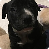Adopt A Pet :: Black w White nose Pup Male - Concord, OH