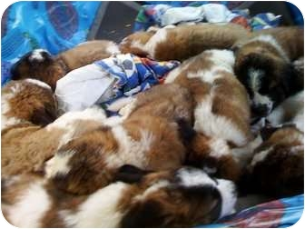 St. Bernard Puppy for adoption in Wayne, New Jersey - SAINT BERNARD