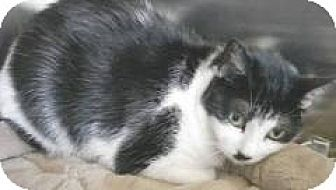 Domestic Mediumhair Cat for adoption in Miami, Florida - Sweetie Pie