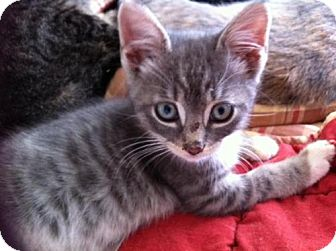 Domestic Shorthair Kitten for adoption in Horsham, Pennsylvania - Blue