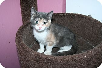 Domestic Shorthair Kitten for adoption in Santa Rosa, California - Holly