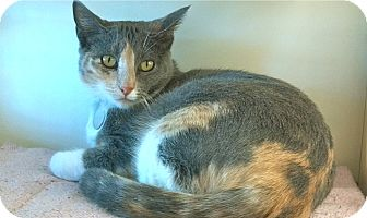 Calico Cat for adoption in Phoenix, Arizona - Jazer