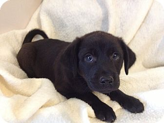 Labrador Retriever/Shepherd (Unknown Type) Mix Puppy for adoption in Manchester, Connecticut - PRUDENCE meet me 5/17