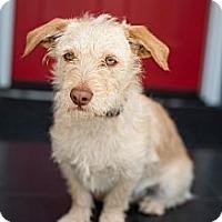Adopt A Pet :: Scout - Santa Monica, CA