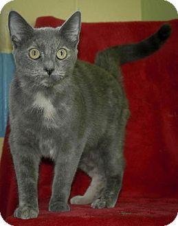 Domestic Shorthair Cat for adoption in Dublin, Virginia - Peaches