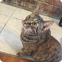Adopt A Pet :: Amala - Jupiter, FL