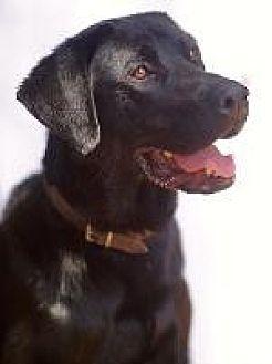 Labrador Retriever Dog for adoption in Pt. Richmond, California - SHADOW