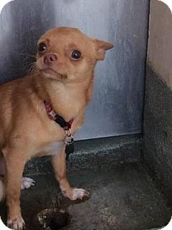 Chihuahua Mix Dog for adoption in Belle Chasse, Louisiana - Money