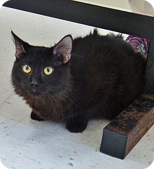 Domestic Mediumhair Cat for adoption in Chambersburg, Pennsylvania - Faulker