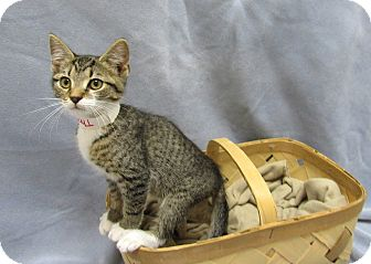 Domestic Shorthair Kitten for adoption in Lexington, North Carolina - Thomas