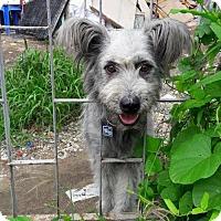 Adopt A Pet :: 'SWEETY' - Agoura Hills, CA
