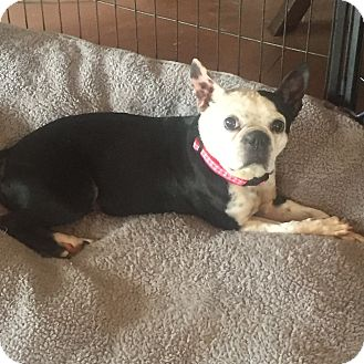Boston Terrier Dog for adoption in Weatherford, Texas - Dolly