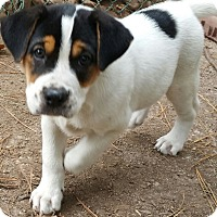 Adopt A Pet :: Empire (Apple Puppies) - Alexandria, VA