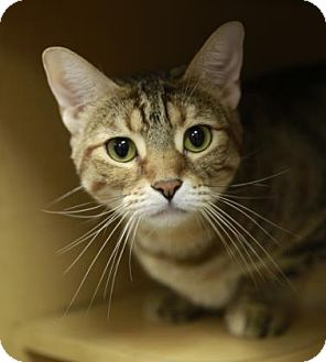 Domestic Shorthair Cat for adoption in Kettering, Ohio - Mina Jasmine