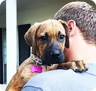 Boxer/Labrador Retriever Mix Puppy for adoption in Chicago, Illinois - Abby
